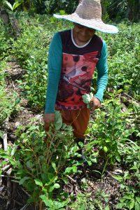 Kokablätter rupfen und ernten: Kleinbauer Gilberto bei der Arbeit